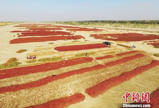 新疆戈壁滩上晾晒红辣椒场面壮观