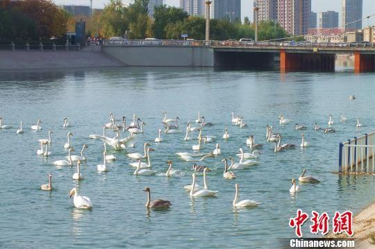 新疆孔雀河越冬天鹅成倍增长 或创12年越冬天鹅数量之最