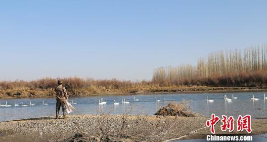 新疆兵团职工志愿保护、喂食天鹅助安全越冬(图)