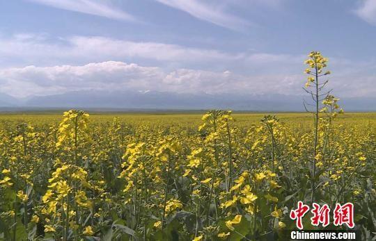 新疆兵团近十万亩油菜花绽放高原
