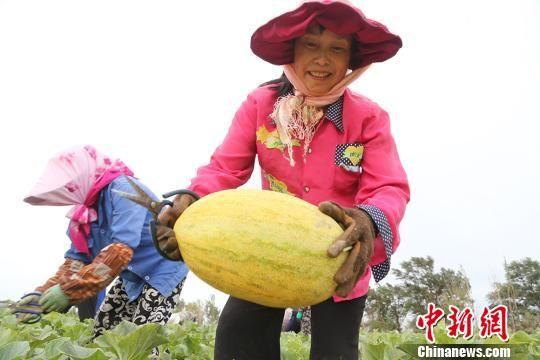 新疆兵团5000亩哈密瓜成熟将进入销售高峰期