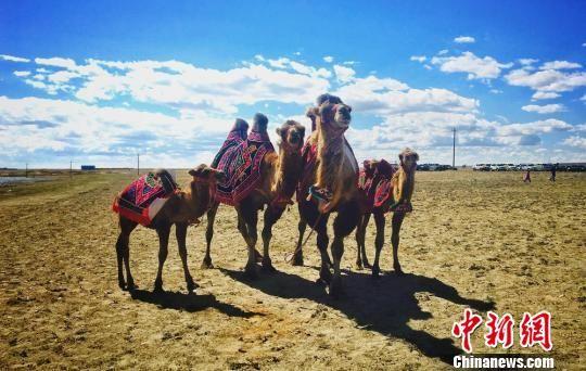 新疆福海骆驼选美吸睛 辨奶赛参与者踊跃