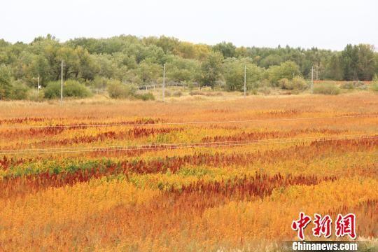 新疆兵团数千亩藜麦成熟姹紫嫣红美不胜收
