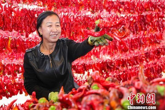 新疆巴里坤辣椒丰收
