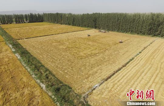 新疆兵团南部水稻成熟描绘丰收画卷