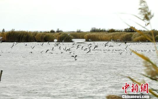 新疆艾比湖湿地迎迁徒候鸟