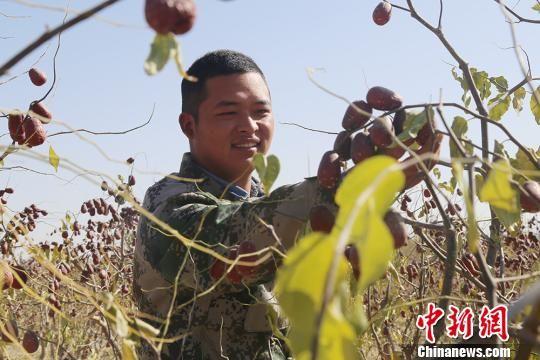 新疆兵团14万亩和田玉枣即将采摘
