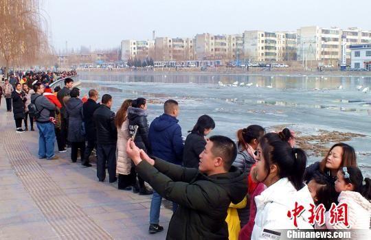 春节期间天鹅闹喜 新疆库尔勒游人如织