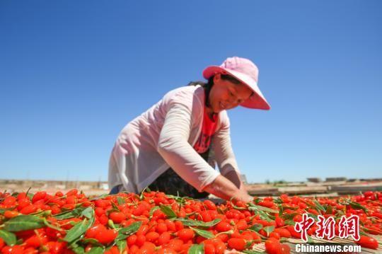 新疆精河17万亩枸杞成熟采摘 红色产业助农民增收