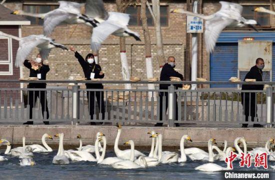 新疆库尔勒市民为野生天鹅在迁徙前补充体能