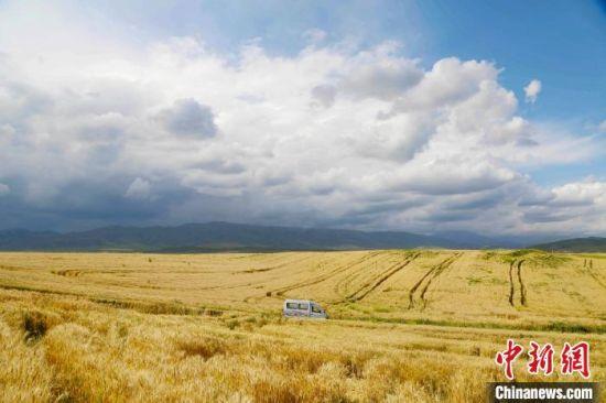 新疆昭苏县80余万亩小麦覆陇黄