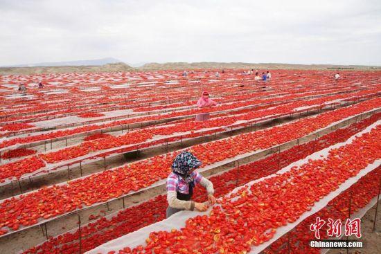 新疆兵团7万亩番茄成熟晾晒映红戈壁滩
