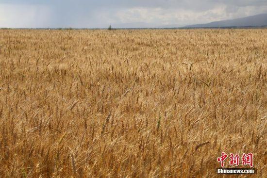 新疆昭苏高原约百万亩春小麦成熟