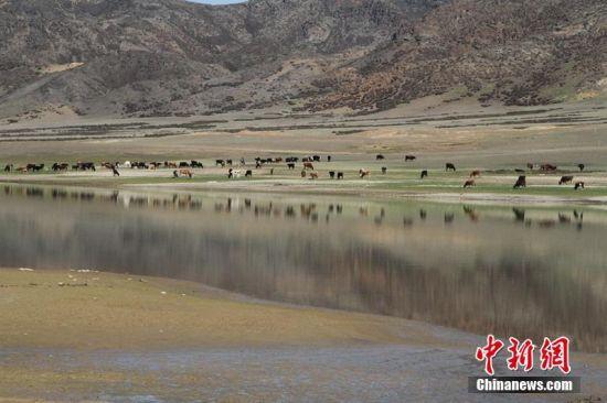 新疆兵团高寒湿地现牛群野鸟美景图卷