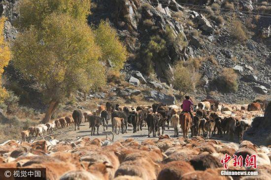新疆哈萨克族牧民秋季转场 牲畜成群场面壮观