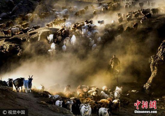 新疆阿勒泰牲畜转场 场面壮观