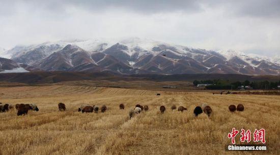 初雪后的新疆昭苏大草原