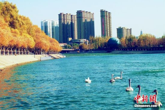 逾200只天鹅在新疆库尔勒孔雀河越冬