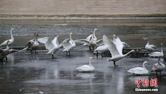 新疆库尔勒孔雀河封冻 240只越冬天鹅转场杜鹃河