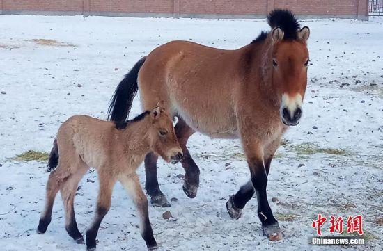 小野马最冷时节诞生 工作人员用驴奶临时救护