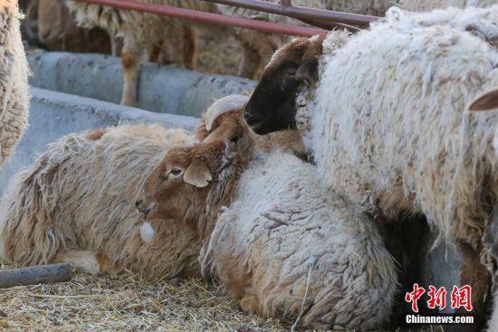 """新疆北部天气严寒 绵羊喝水嘴上挂""""冰块"""""""