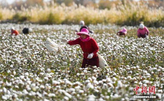 新疆3700万亩棉花迎来采收最忙时节