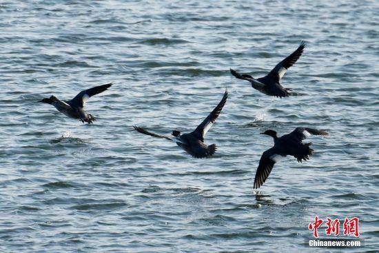 新疆克拉玛依西郊湿地引来成群候鸟等待南迁