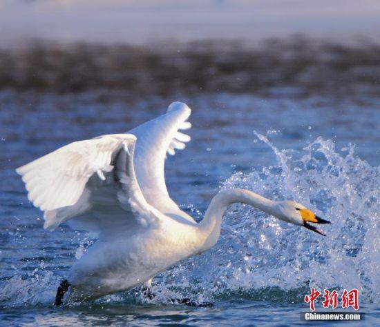 新疆和静开都河引天鹅安家