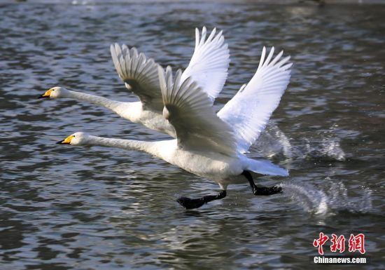 新疆库尔勒市杜鹃河成候鸟天堂