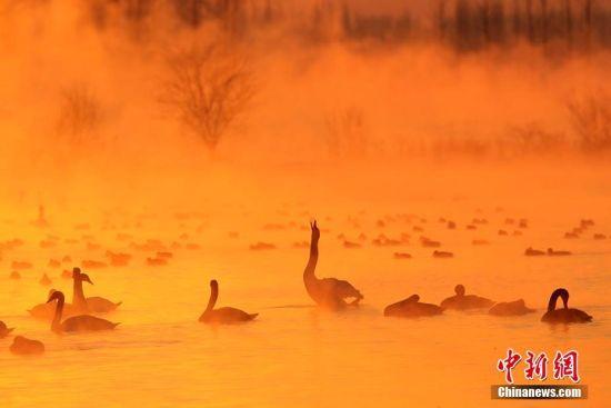 新疆天鹅泉缥缈雾气中天鹅起舞