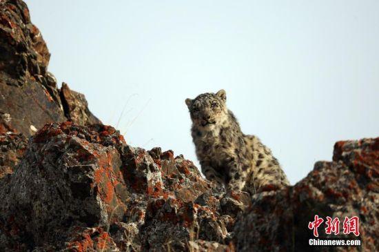新疆巴音郭楞山区现雪豹 伺机捕食岩羊