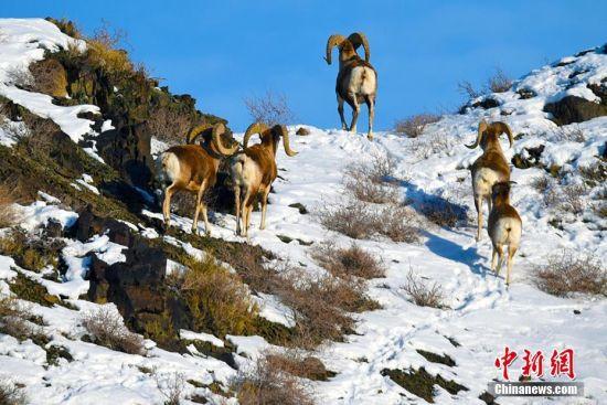 新疆克拉玛依山区现盘羊、鹅喉羚山中自由觅食