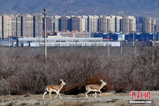 新疆克拉玛依市区周边成为野生动物的家园