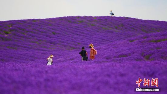 新疆霍城5万余亩薰衣草花盛开醉游人