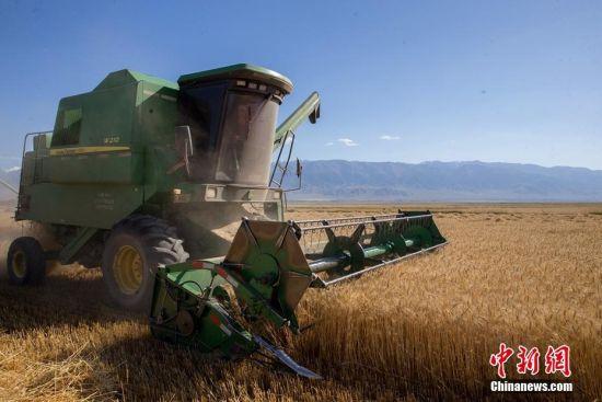 新疆巴里坤县逾20万亩晚季节小麦开镰收割
