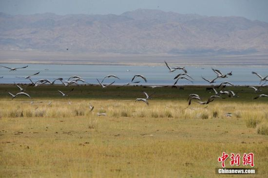 新疆巴里坤湿地迎来大批南迁候鸟