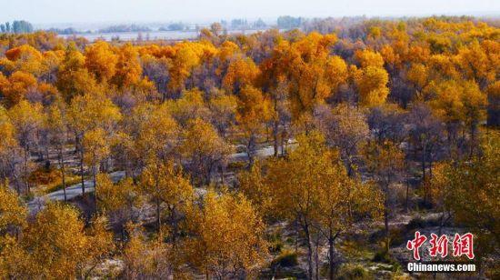 新疆阿瓦提县十月的胡杨林构成梦幻般金色世界