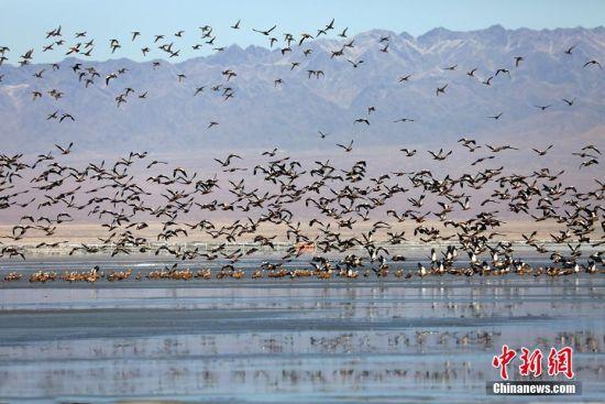 新疆巴里坤湿地成候鸟迁徙途中的天然驿站