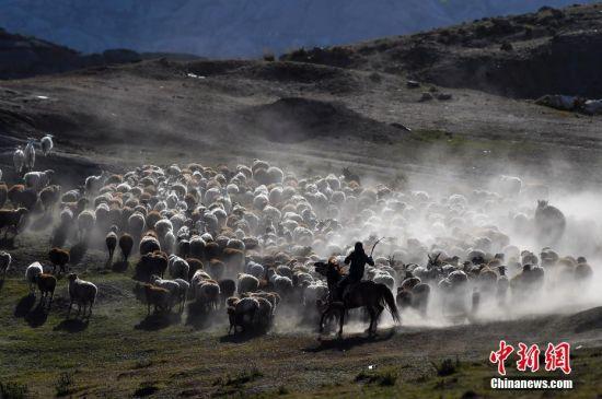 新疆阿勒泰百万牲畜大转场