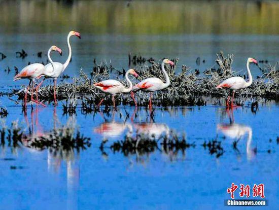 """罕见!火烈鸟""""做客""""新疆乌伦古湖湿地公园"""