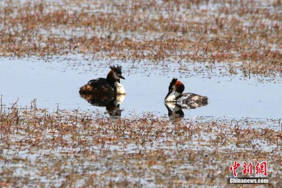 新疆东天山巴里坤湿地现水鸟成群景观