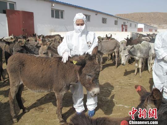 今年一季度,新疆南部口岸共进口活驴8000头,与去年同期相比增长2.1倍。姚姣姣 摄