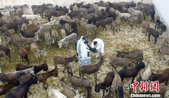中亚国家活驴资源丰富、价格优势明显、国内阿胶市场需求旺盛等,都是活驴进口贸易大增的原因。姚姣姣 摄