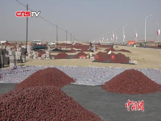 新疆红枣进入采摘季 策勒种植户转型思变