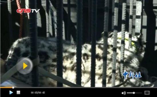 新疆清河县一级保护动物雪豹被困羊圈