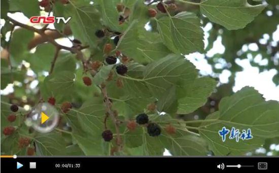 新疆托克逊县桑葚节 万名游客载歌载舞采摘桑葚