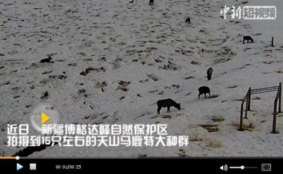 特大天山马鹿种群在天山天池景区被抓拍