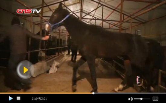中国首批从哈萨克斯坦进口汗血宝马入境