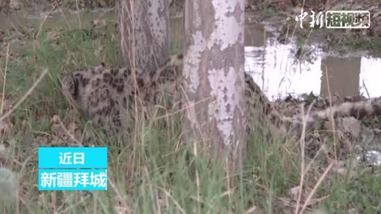 新疆首次在农区发现雪豹 警民联手救助