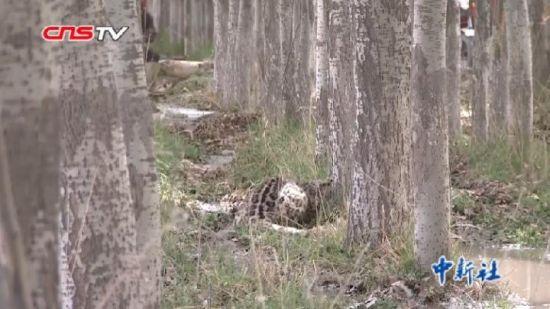 新疆南部农区发现雪豹下山觅食